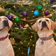 Christmas Labs — Stockfoto