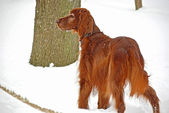 Irish setter in snow — Stock fotografie