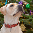 Stock Photo: Christmas :Labrador Retriever