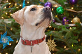 Christmas :Labrador Retriever — Stock Photo