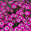 pink dianthus — Stock Photo