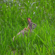Rabbit hiding in grass — Stok fotoğraf