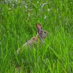 Rabbit hiding in grass — Stock Photo #25025083