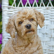 Poodle on a wicker chair — Stock Photo