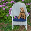 Постер, плакат: Welsh terrier with rhododendrons