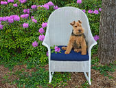 Welsh terrier with rhododendrons — Stock Photo