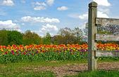 Dutch Tulip Farm — Stock Photo