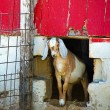 Goat in barn pen — Stock Photo