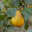 Pear hanging on tree — Stock Photo