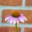 Pink cone flower — Stock Photo