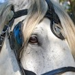 Black bridle on white horse — Stock Photo #36145581