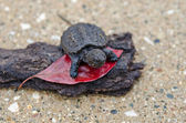Baby snapping turtle — Stock Photo