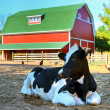 Stock Photo: Holstein cow in barnyard