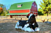 Holstein cow in barnyard — Stock Photo
