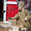 Sheep shearer shearing a sheep — Stock Photo