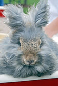 Gray angora rabbit — Stock Photo