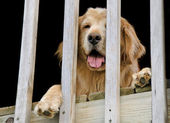 Golden Retriever peeking through railing — Stock Photo