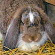 Lop eared rabbit — Stock Photo #49181099