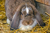 Lop eared rabbit — Stock Photo