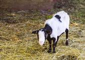 Farm goat — Stock Photo
