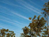 Cirrus clouds blue winter sky gum trees — Stock Photo