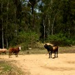 Cows on country dirt road — Stock Photo #12578483