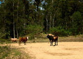 Cows on country dirt road — Stock Photo