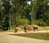 Cows in australian rural scene — Stock Photo