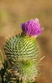 Cirsium vulgare, Spear thistle in flower — Stock Photo