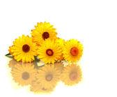 Australian yellow paper daisy flower — Stock Photo