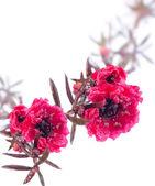 Leptospermum scarlet flowers over white background — Stock Photo