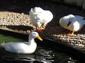 Duck Bath — Stock Photo