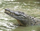 Smiling Crocodile — Stockfoto