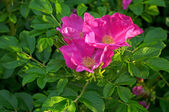 A pink dogrose flower — Stock Photo