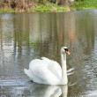 White swan with reflection on water — Stock Photo