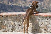 Um cachorro olhando sobre a beira — Foto Stock