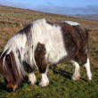 Pony in Dartmoor National Park, Devon, Great Britain - Stock Photo