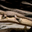 A Lizard Crawling on a Branch in Prague Zoo — Stock Photo