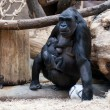 Lowland Gorilla Kijivu With His Cub in Prague Zoo — Stock Photo