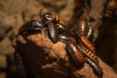 Madagascar Cockroaches — Stock Photo