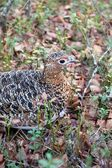Detail of Partridge in Taiga Forest — Stock Photo