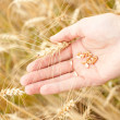 Wheat seed - Stock Photo