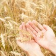 Wheat seed — Stock Photo