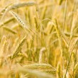 Stock Photo: Ear of wheat