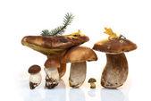 Cogumelo — Fotografia Stock