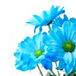 Stock Photo: Blue chrysanthemum