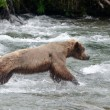 Large Brown Bear fishing for salmon in river — Stock Photo #12533549