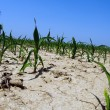Stock Photo: Drought conditions in Illinois corn field
