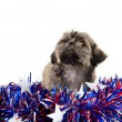 Shih Tzu and Fourth of July deocations — Stock Photo