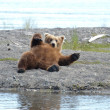 Alaskan brown bear resting — Foto Stock